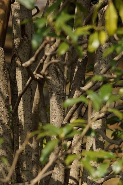 金木犀(キンモクセイ)