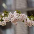 Photos: 八重紅大島(ヤエベニオオシマ)