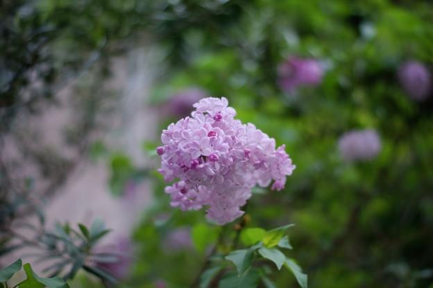 紫丁香花(ムラサキハシドイ)