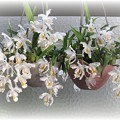 写真: 2鉢のCoel.cristata