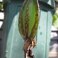 写真: セロジネ・スペシオサの種?1