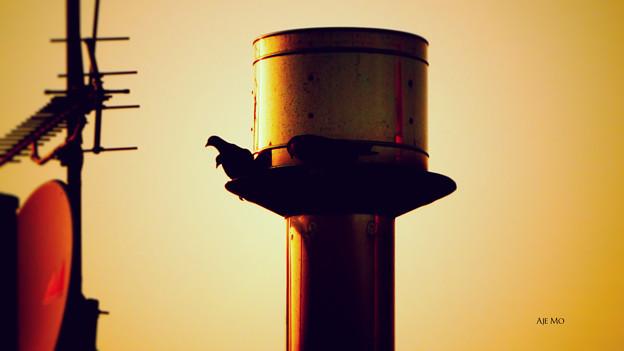 鳥としての鳩たち