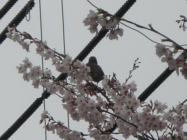 桜ヒヨドリ+電線