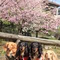 Photos: 熱海寒桜をバックに