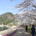 Photos: 桜満開(河口湖2015年4月18日)
