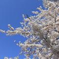 Photos: 桜(河口湖2015年4月18日)