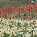 Photos: 水仙とアロエの花