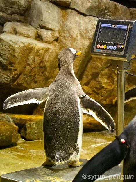 写真: 20141208 海響館 体重測定3