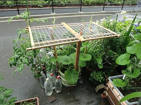 鉢植え瓢箪の子蔓2本
