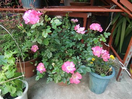 満開の薔薇3422