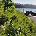 Photos: モンパノキ Heliotropium foertherianum