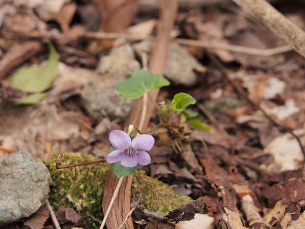 スミレの一種 Viola sp.