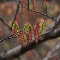 Photos: アカシデ Carpinus laxiflora  花
