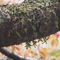 Photos: カヤラン Thrixspermum japonicum