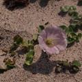 Photos: ハマヒルガオ Calystegia soldanella