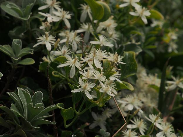 センニンソウ Clematis terniflora