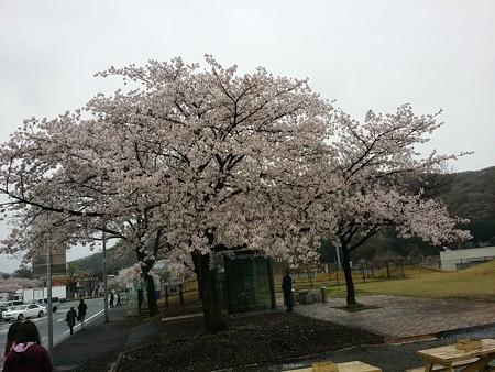 桜…と一息。