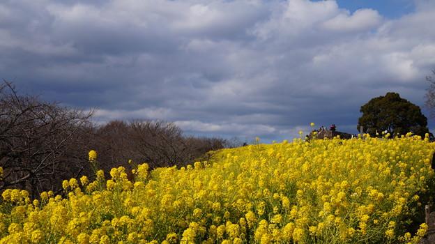 写真: 菜の花続け