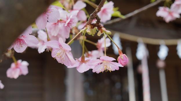 河津桜とつぼみ