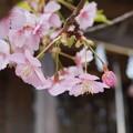写真: 河津桜とつぼみ