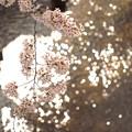 2015桜_石神井川1