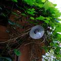 写真: 電球の生る蔦