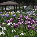 写真: 染谷花しょうぶ園