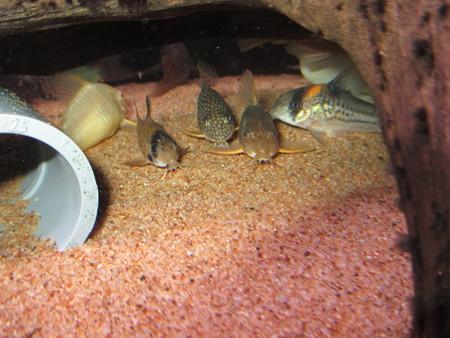 20150325 60cmコリドラス水槽のコリドラス達