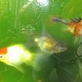 20160906 ベランダ水槽の金魚