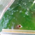 20160926 ベランダ水槽の金魚