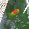 20161021 60cmベランダ水槽の金魚