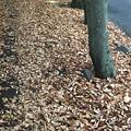 20161121 紅葉の落ち葉