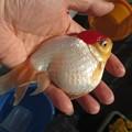20170203 60cm金魚水槽のmix金魚