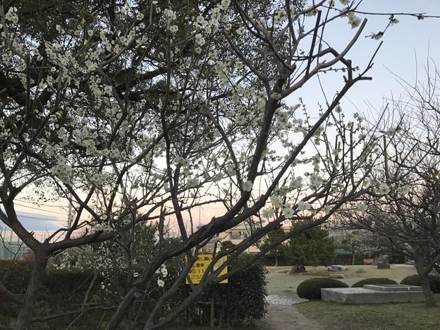 写真: 20170212 城跡公園の梅