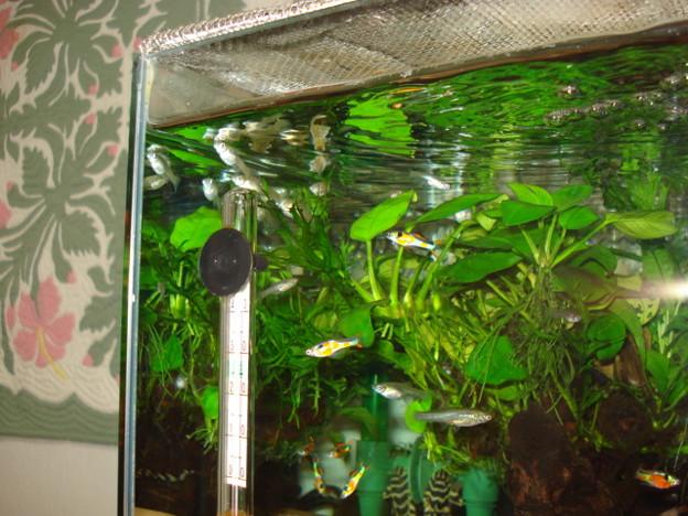 Photos: 20110217 45cmプレコ水槽のエンドラーズ達