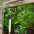 20110217 45cmプレコ水槽のエンドラーズ達