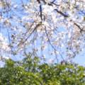 コブシ咲く