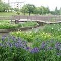 白鷺公園・花しょうぶ(2)