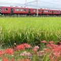 写真: 彼岸花と南海赤備え電車