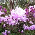 自宅の花(ハヤト岩躑躅)