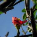 季節外れの木瓜(自宅の花)