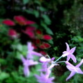 ピンクのハナニラ!(自宅の花)