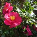 写真: 山茶花(自宅の花)