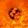 写真: 花びらのお目覚め(自宅の花)
