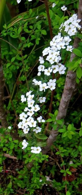 Photos: 流れ落ちる滝のように咲くユキヤナギ(自宅の花)