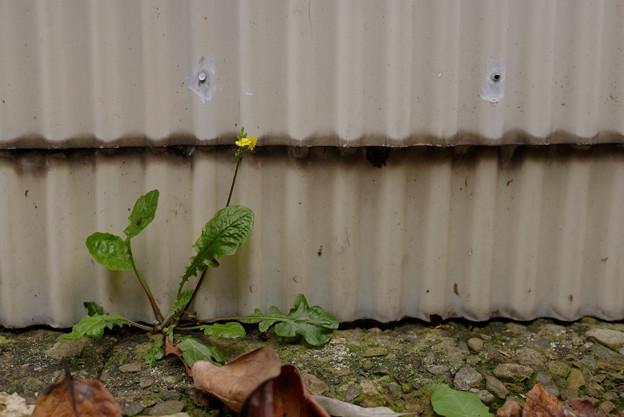 トタンと黄色い花