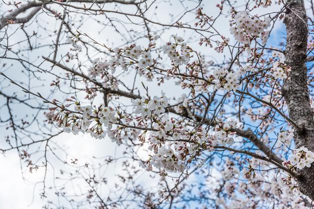 佐賀城堀端の桜-2