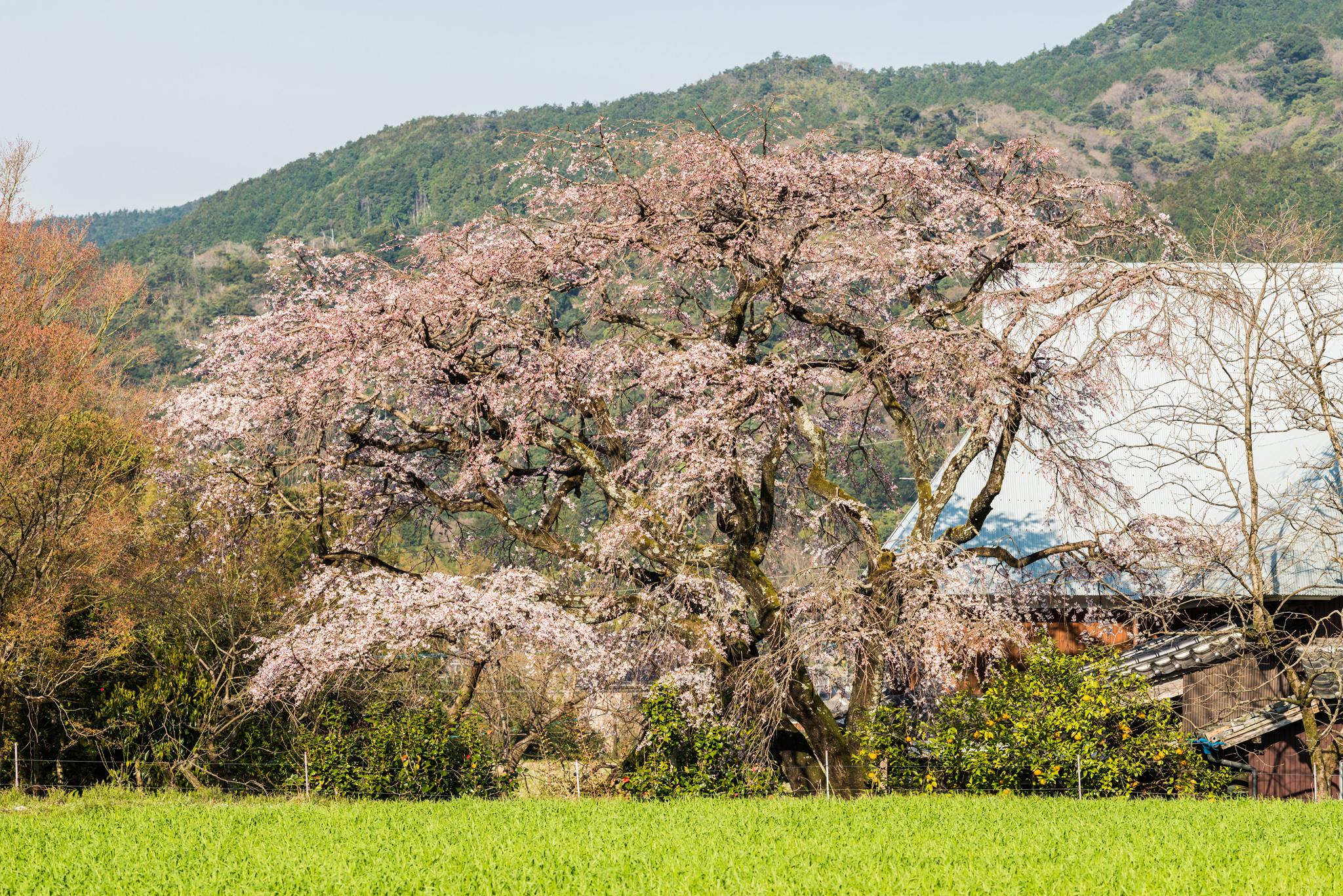 宝珠寺のしだれ桜-3
