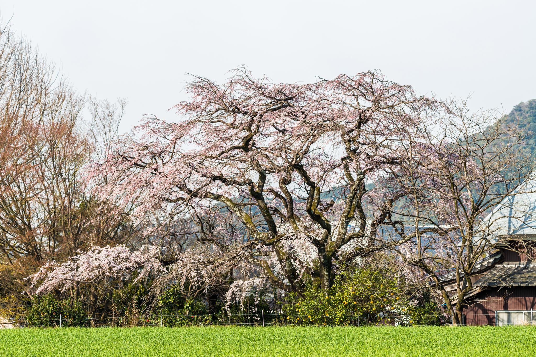 宝珠寺のしだれ桜-5