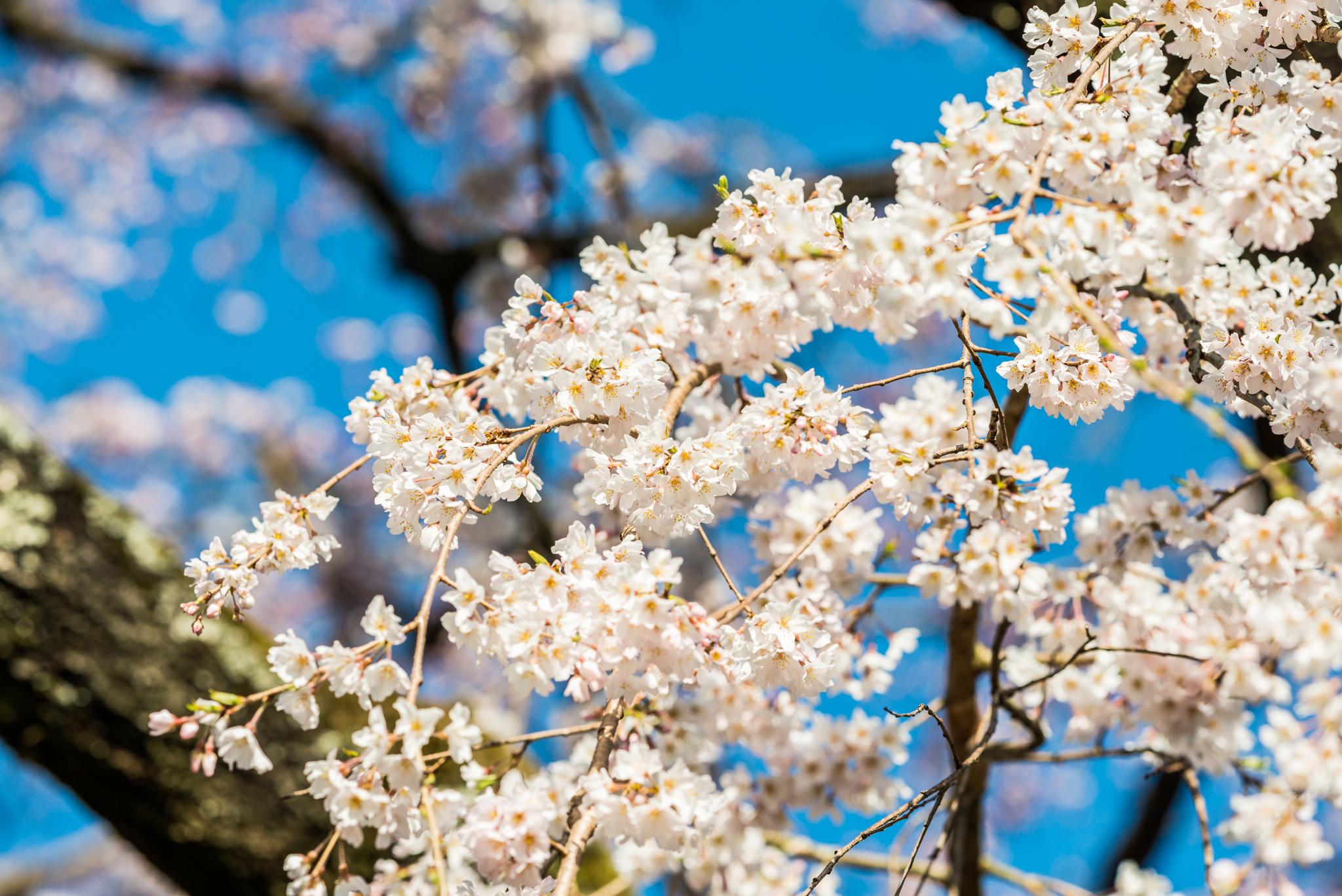 宝珠寺のしだれ桜-6
